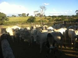 Rural à venda Nucleo Rural Chapada - DF 135   GUARANI GOIAS 231 ALQ.PRÓPRIA P/ENGORDA DE GADO,COM GEO